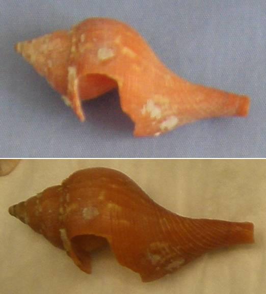Identification d'un coquillage de Floride 40-50m10