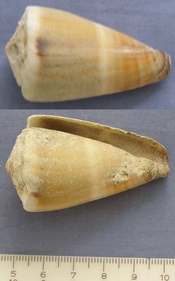 Conus lividus (Lividoconus) - Hwass in Bruguière, 1792 Cone_110
