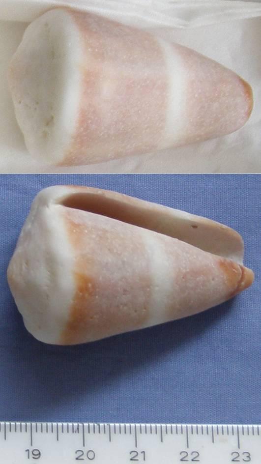Conus lividus Cone_210