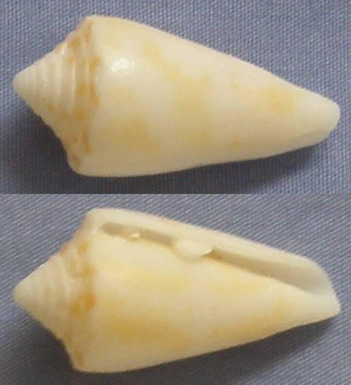 Cone de Miami Beach (Floride)   anabathrum ?? Conus_11