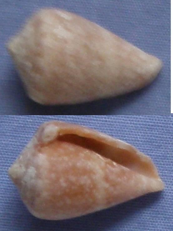 Cone de Chypre (2) = C. ventricosus Conus_13