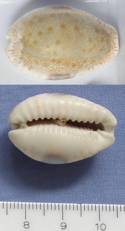 Cypraea d'Australie? = Erosaria erosa erosa Cyprae11