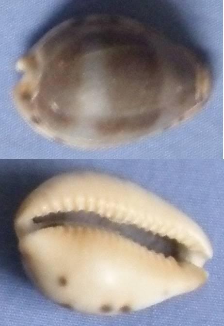 Cypraea xanthodon (Erronea) - (J.E. Gray in G. B. Sowerby I, 1832) Cyprae15