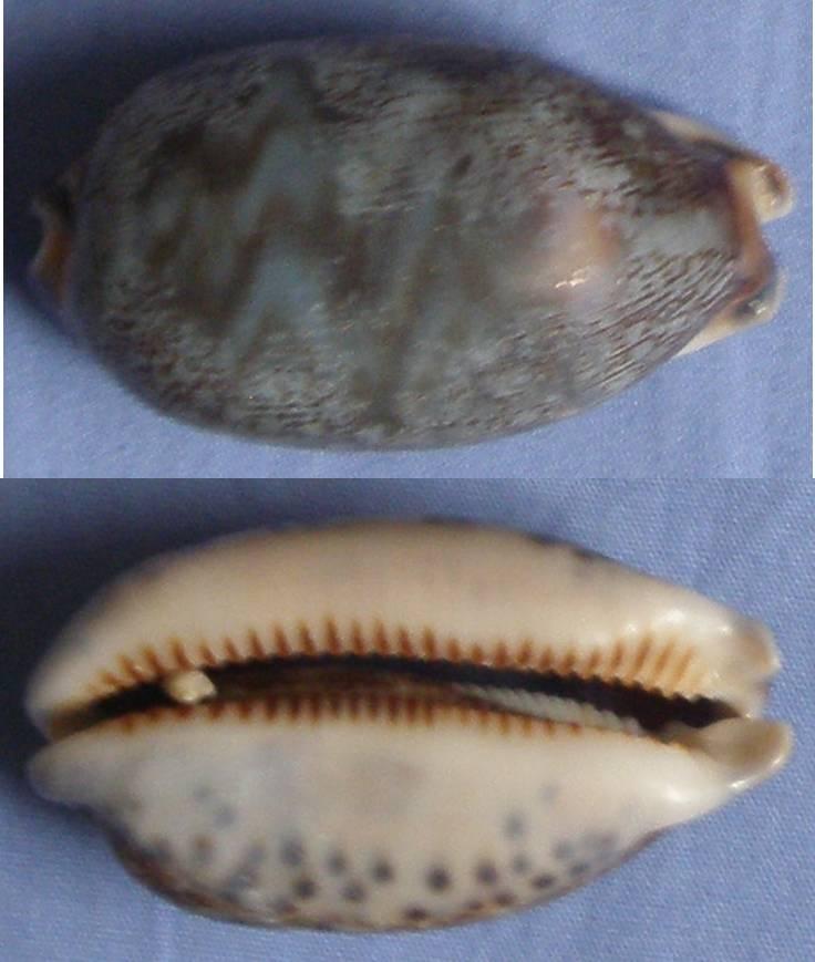 Mauritia eglantina (Duclos, 1833) Cyprae16