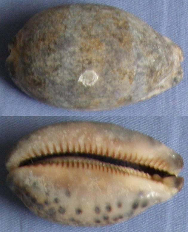 Cypraea de Airlie Beach (Queensland, AU) 2? = cypraea arabica Cyprae17