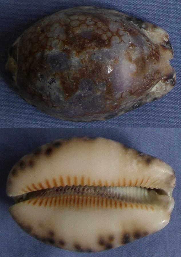 Cypraea de Mahé (Seychelles) = Mauritia histrio Cyprae18