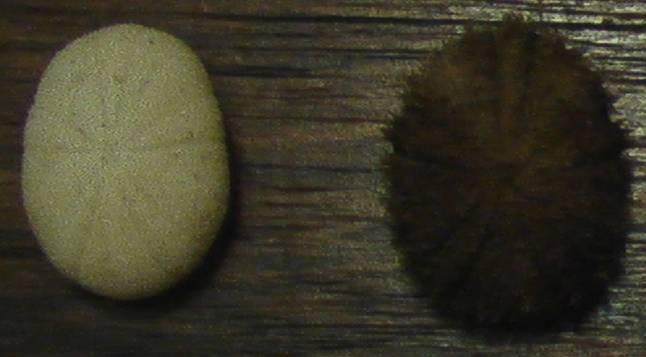 Echinoneoida - Echinoneidae - Echinoneus cyclostomus Leske, 1778 Echino13