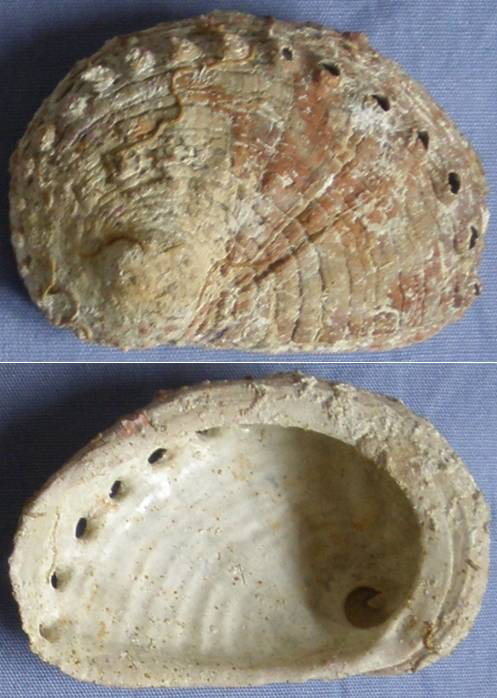 Haliotis rugosa - Lamarck, 1822 Haliot12