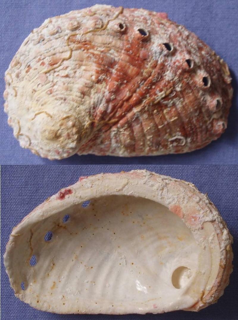 Haliotis rugosa - Lamarck, 1822 Haliot13