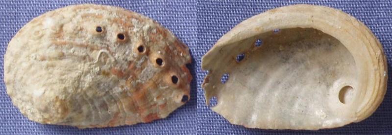 Haliotis rugosa rugosa Lamarck, 1822 Haliot15