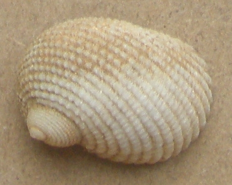 Vanikoro sp. de Mahé (Seychelles) à identifier Nerito10