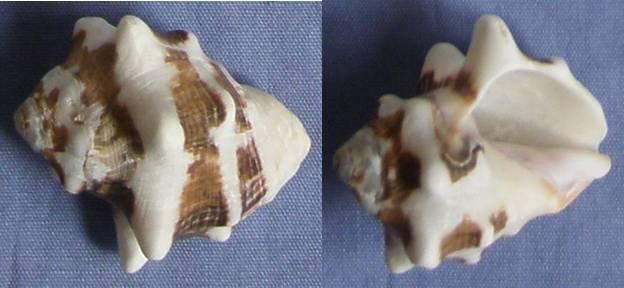 Vasula deltoidea - (Lamarck, 1822) Playa_11
