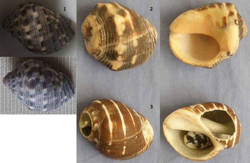Purpuras de Mahé (Seychelles) à identifier Purpur11