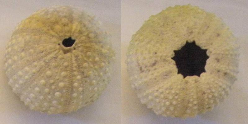 Stomopneustoida - Stomopneustidae - Stomopneustes variolaris (Lamarck, 1816) Stomop10