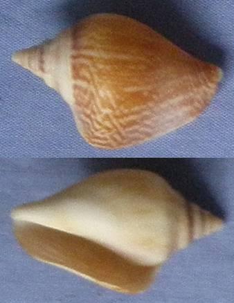 Strombidae de Tannum Sands (QLD, AU) Stromb11