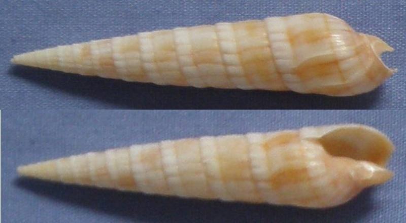 Myurella affinis - (Gray, 1834)  Terebr10