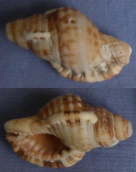 Triton de l'Ile Maurice à identifier = Monoplex aquatilis Triton10