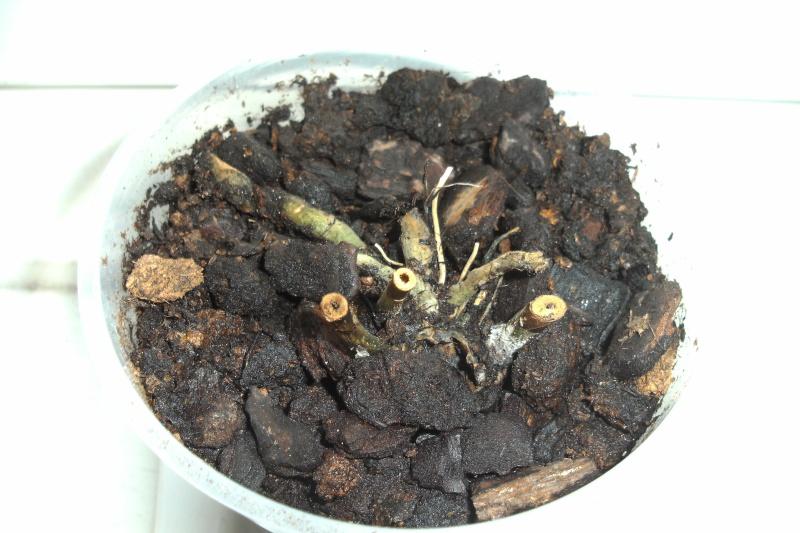 Schaffen es meine Orchideen (Phalaenopsis) ? Bild0412
