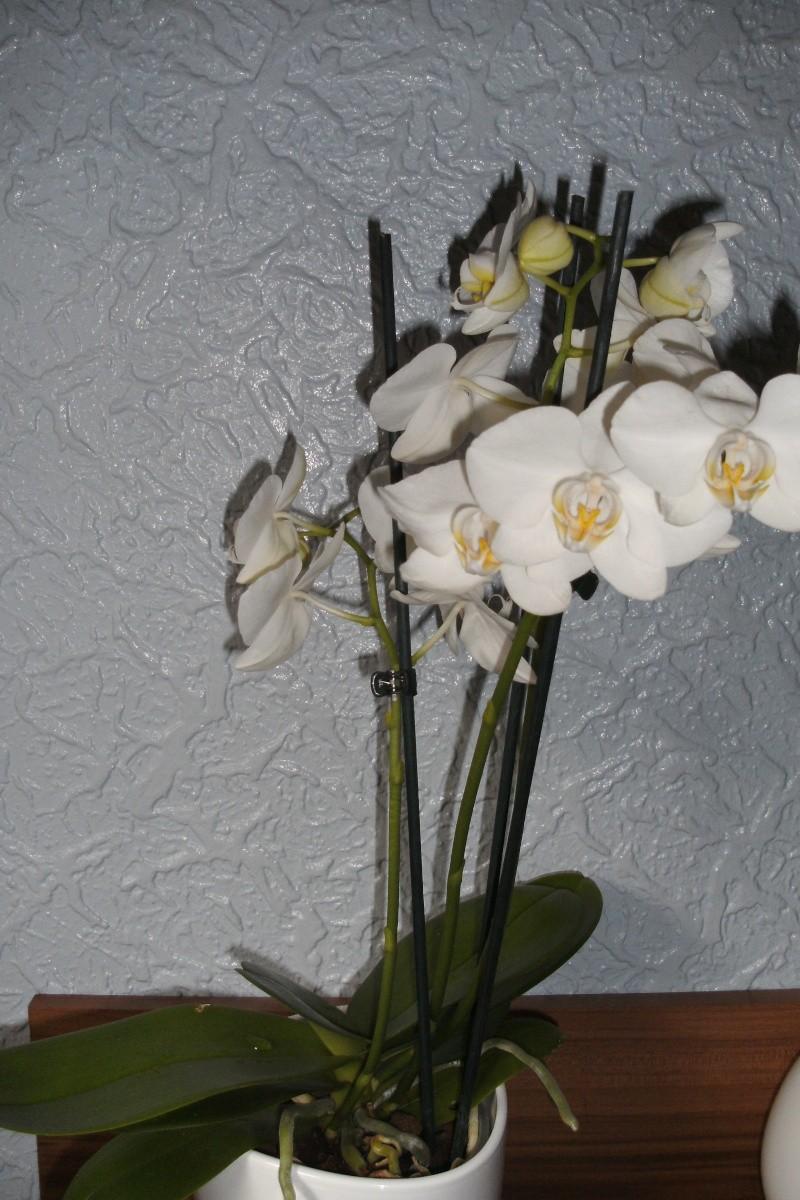 Schaffen es meine Orchideen (Phalaenopsis) ? Bild0414