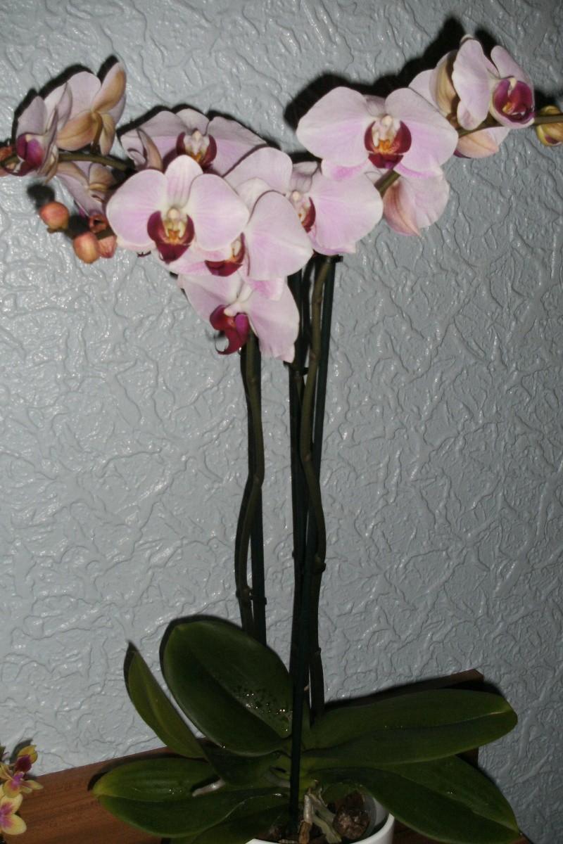 Schaffen es meine Orchideen (Phalaenopsis) ? Bild0415