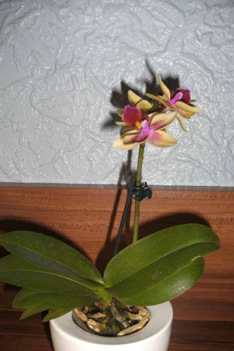 Schaffen es meine Orchideen (Phalaenopsis) ? Bild0416