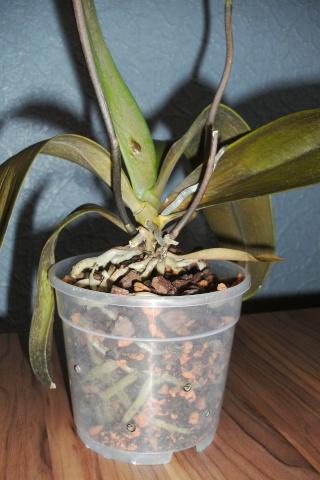 Orchidee vor dem Müll gerettet, sieht aber nicht gut aus Bild0821