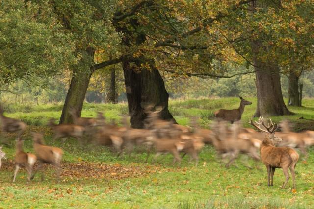 Deer At Tatton Park Dearat10