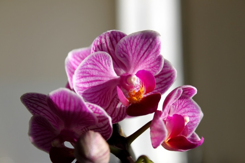 Phalaenopsis sicher, aber welche? Phala_10