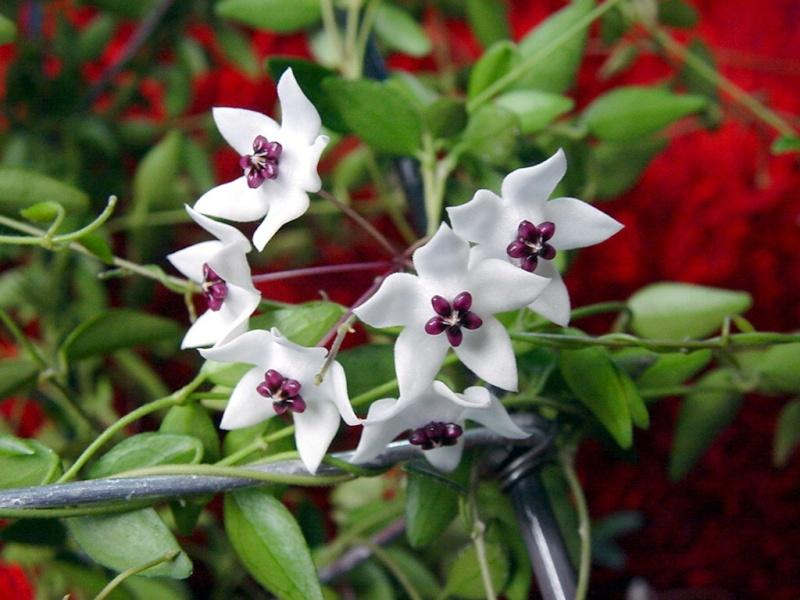 Hoya microphylla Hoya_m13