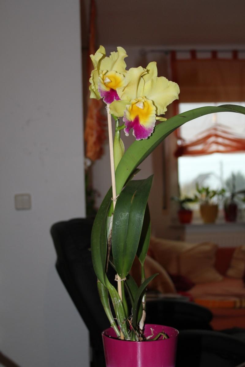 Cattleya Hybride? Img_4312