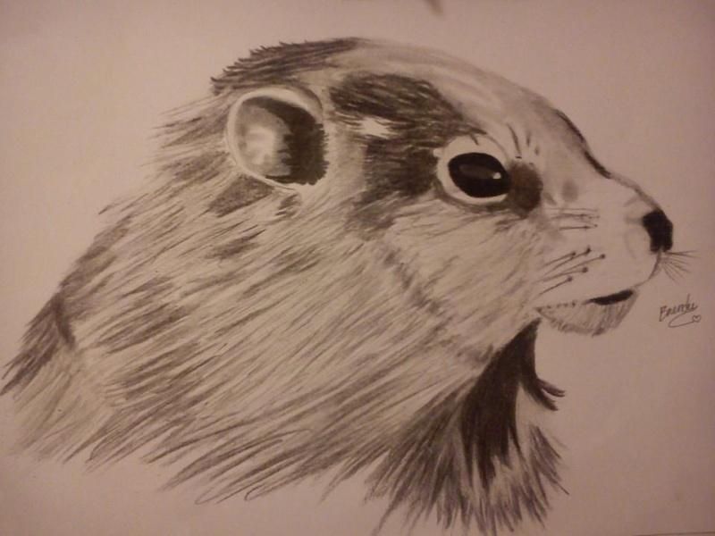 Dessin de la marmotte mise :) Marmot10