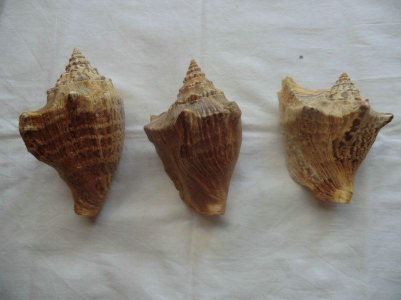 Strombidae Tricornis tricornis - ([Lightfoot], 1786) - Page 2 Coq10