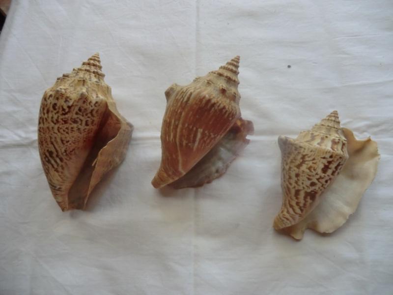 Strombidae Tricornis tricornis - ([Lightfoot], 1786) - Page 2 Coq110