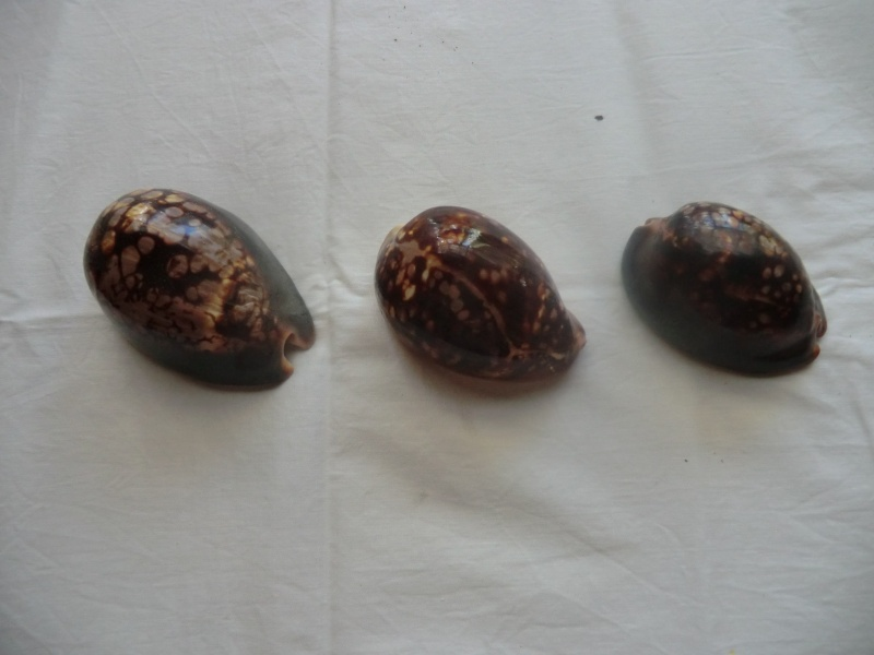 Cypraea (mauritia) mauritania, Linné 1758 Po10
