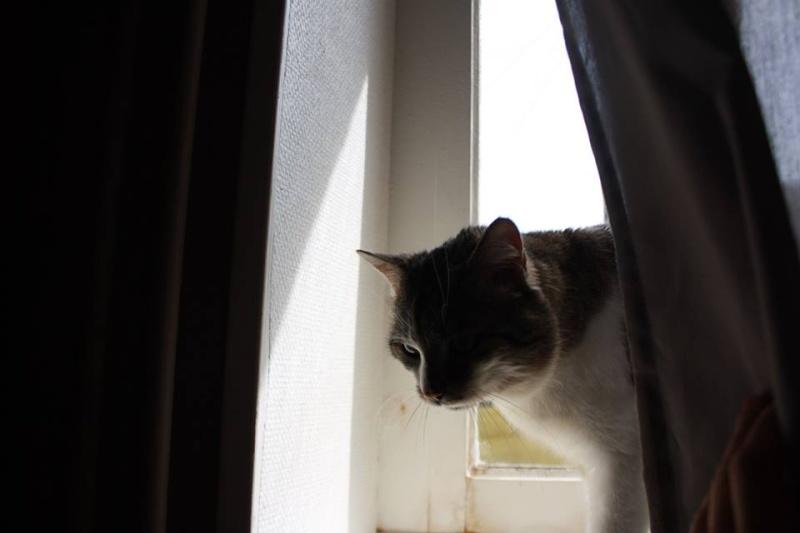 Gaston, mâle, 2011, tabby et blanc Gaston13