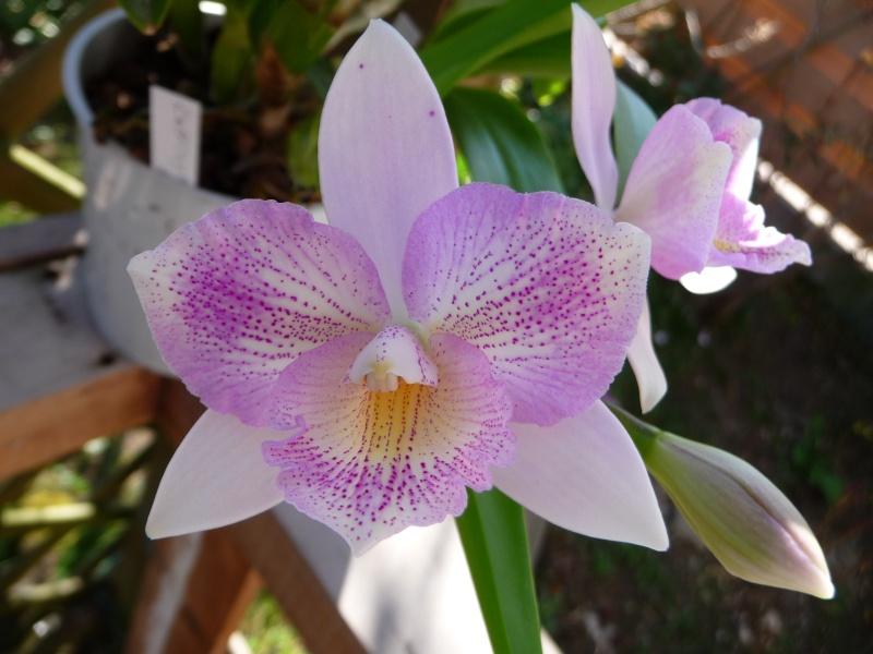 Caulocattleya (syn. Diacattleya) Chantilly Lace  Cauloc10