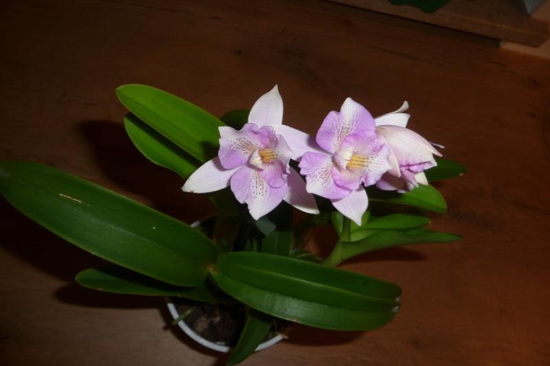 Caulocattleya (syn. Diacattleya) Chantilly Lace  Cauloc11