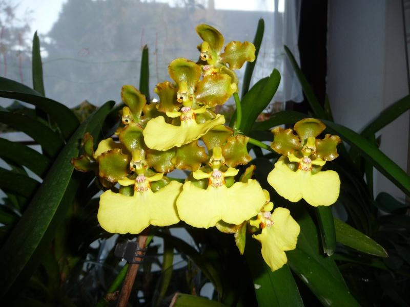 Lophiaris bicallosa, Syn. Oncidium bicallosum Oncidi10