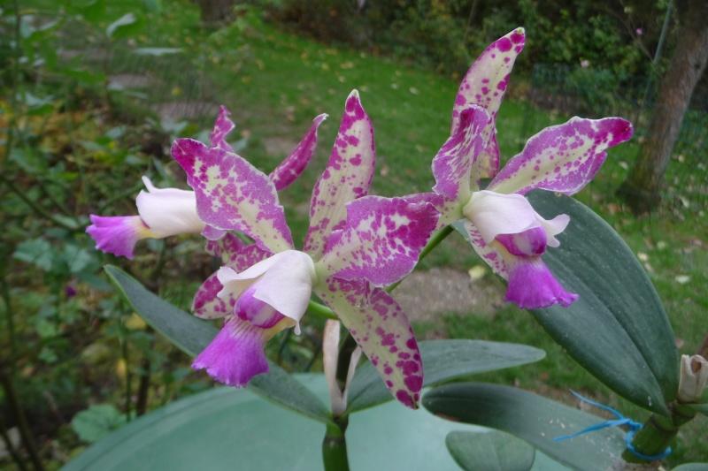 "Cattleya Brabantiae, Cattleya Taiwan Green Emerald, Blc. Momilani Rainbow, Lc. Sagarik Wax ""African Beauty"" P1230710"