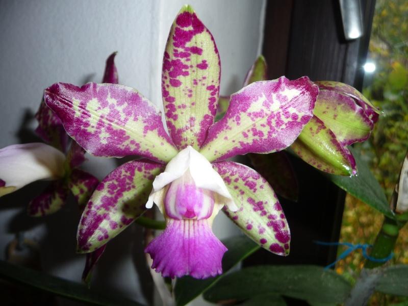 "Cattleya Brabantiae, Cattleya Taiwan Green Emerald, Blc. Momilani Rainbow, Lc. Sagarik Wax ""African Beauty"" P1230711"