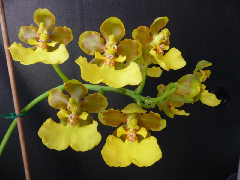 Lophiaris bicallosa, Syn. Oncidium bicallosum P1230910