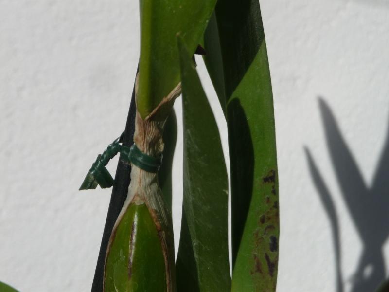 Blattflecken an Laelia tenebrosa: Pilz oder Virus P1240511