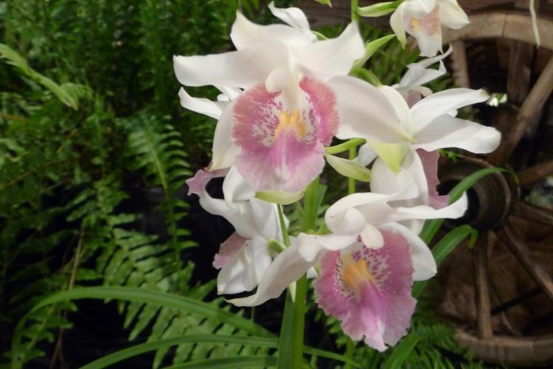 Neu-Ulmer Orchideentage 07.02.-09.02.2014   P1240613