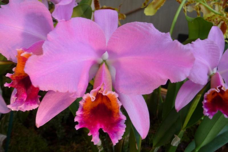 Neu-Ulmer Orchideentage 07.02.-09.02.2014   P1240618