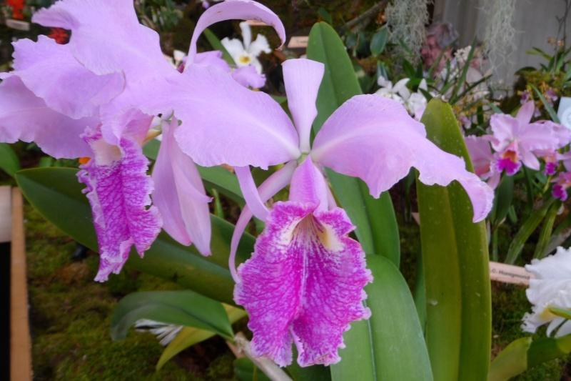 Neu-Ulmer Orchideentage 07.02.-09.02.2014   P1240619