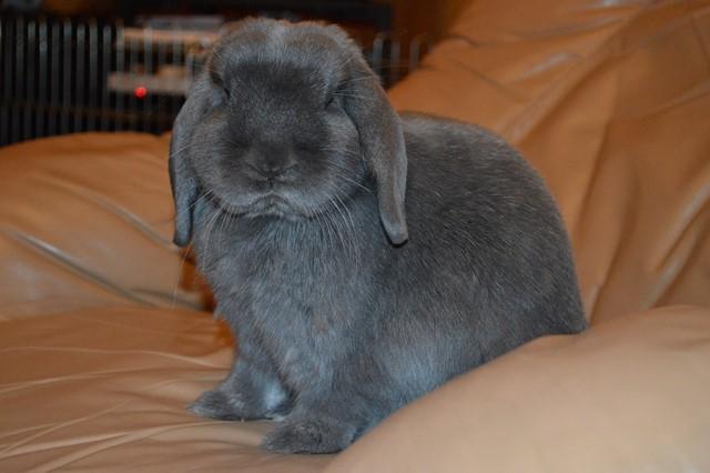 Hermine, lapine bélier, née en 2012 - Page 4 Dsc_0111