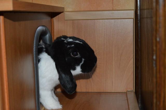 Hermine, lapine bélier, née en 2012 - Page 4 Dsc_0112