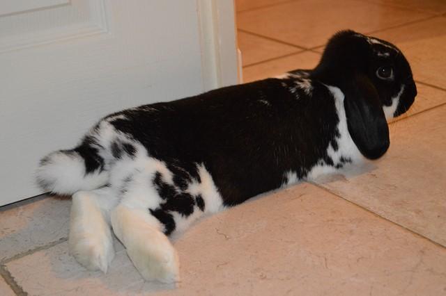 Hermine, lapine bélier, née en 2012 - Page 4 Dsc_0113