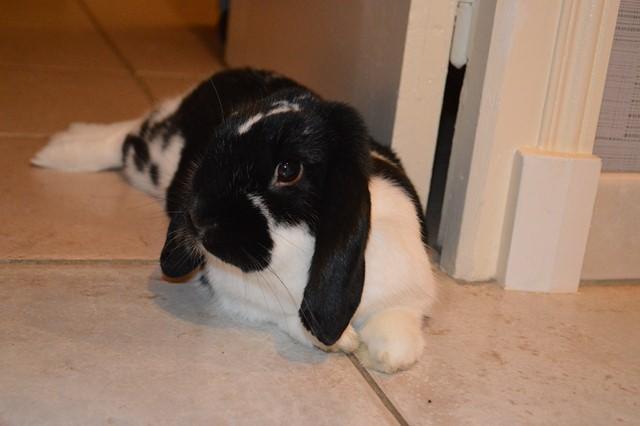 Hermine, lapine bélier, née en 2012 - Page 4 Dsc_0114