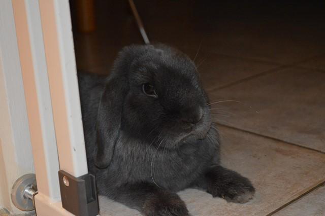Hermine, lapine bélier, née en 2012 - Page 4 Dsc_0115